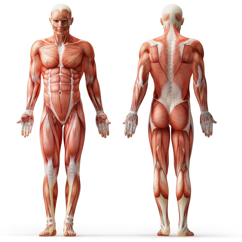 diagram of the muscular system images - learn human anatomy image, Skeleton