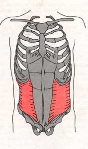 transverse abdominis ab muscles