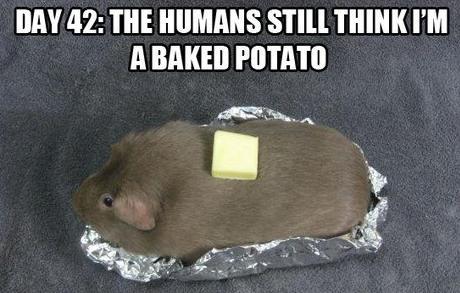 baked potato guinea pig